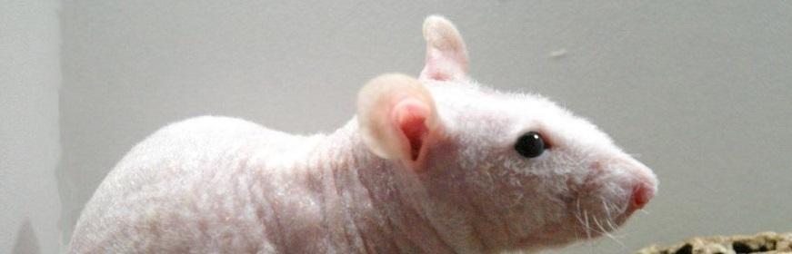 Un rat nu, c'est à dire sans poil